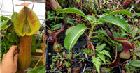 Nepenthes truncata (d) x lowii Trusmadi, CAR-0061