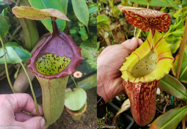 Nepenthes (truncata x campanulata) x [(lowii x veitchii) x boschiana]-white, CAR-0074