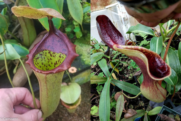 Nepenthes (truncata x campanulata) x lowii, CAR-0099