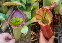 "Nepenthes (truncata x campanulata) x veitchii ""Pink Candy Cane"", CAR-0064"