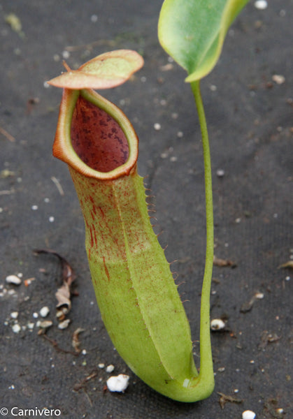 Nepenthes truncata x biak