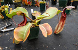 Nepenthes truncata x maxima, CAR-0012