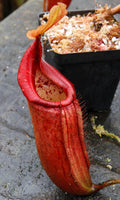 "Nepenthes truncata x mira ""Glowing Red"""