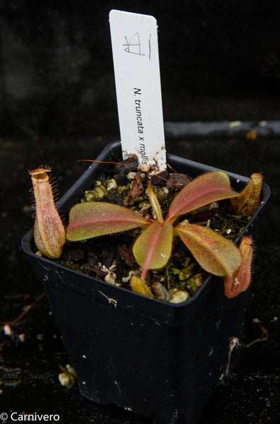 Nepenthes truncata x mollis