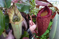 "Nepenthes truncata x peltata ""Red Phantom"""