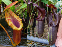 Nepenthes x Trusmadiensis x robcantleyi