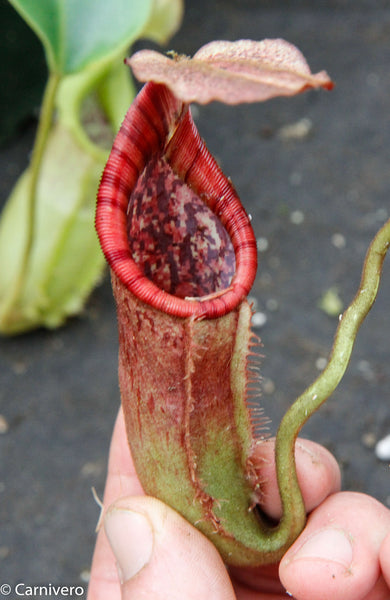 Nepenthes Trusmadiensis x burbidgeae - DM032