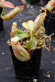 Nepenthes veitchii Bareo, BE-3734