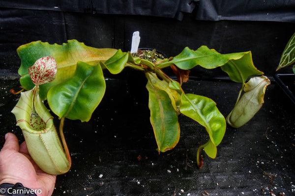 Nepenthes veitchii Bareo - specimen 2