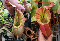 "Nepenthes veitchii (""Big Mama"" x ""Pink Candy Striped""), CAR-0001"
