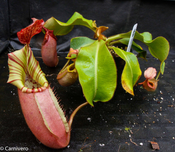Nepenthes veitchii, Candy Red