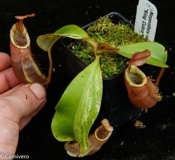"Nepenthes veitchii ""Cobra"""