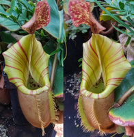 Nepenthes veitchii (selected clones)