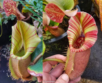 "Nepenthes veitchii (#5 x ""The Wave""), CAR-0062"