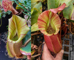 "Nepenthes veitchii (#5 x ""Pink Candy Cane""), CAR-0102"