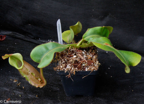 Nepenthes veitchii Bareo, Malesiana Tropicals