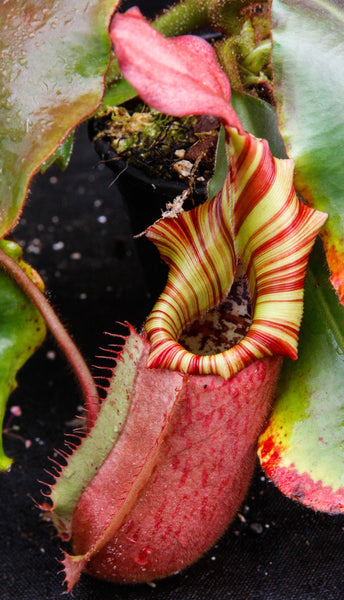 Nepenthes veitchii (Murud Striped x Candy), Specimen A