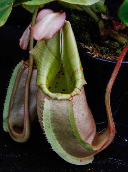 Nepenthes veitchii (Murud Striped x Candy), Specimen C
