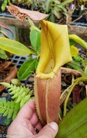 "Nepenthes veitchii ""Pink"""