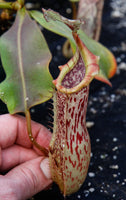 Nepenthes veitchii x platychila, BE-3213