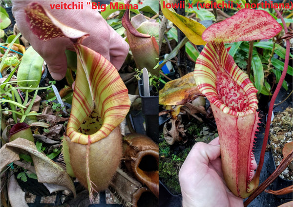 Nepenthes veitchii (k) x [lowii x (veitchii x northiana)], CAR-0005