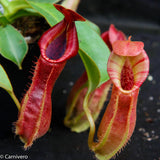 "Nepenthes veitchii ""Psychedelic"" x adrianii, CAR-0092"