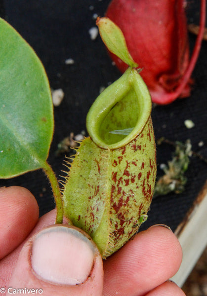 Nepenthes ampullaria x veitchii, BE-3720