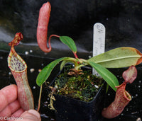 Nepenthes veitchii x campanulata