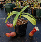 Nepenthes ventricosa red