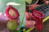 Nepenthes ventricosa (Denver x (k)), CAR-0027