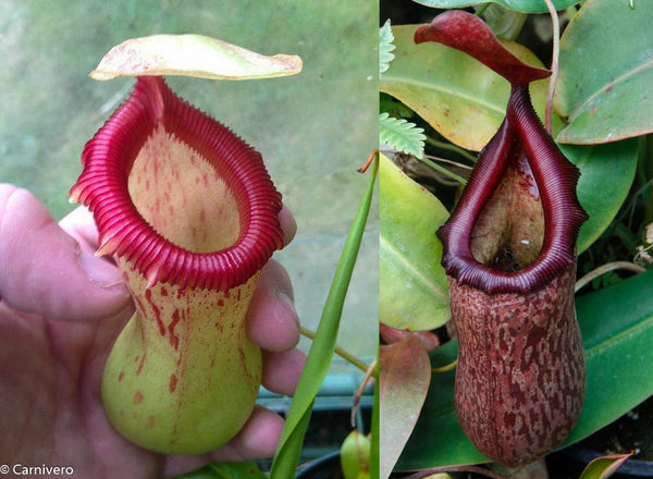 Nepenthes ventricosa Denver x (ventricosa x rigidifolia), CAR-0079