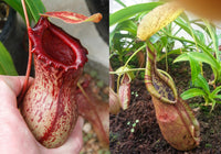 Nepenthes ventricosa Madja-as x (singalana x rafflesiana), CAR-0073