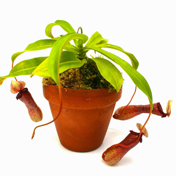 Nepenthes ventricosa [Madja-as x (BE x AG3)], CAR-0101