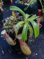 Nepenthes ventricosa Madja-as, BE-3278