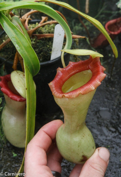 "Nepenthes ventricosa ""Porcelain"""