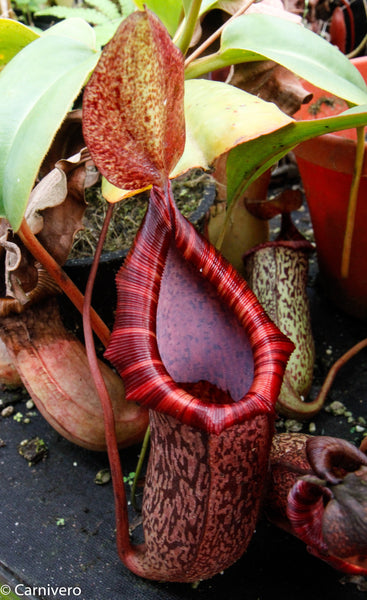 Nepenthes spectabilis x ventricosa, BE-3745