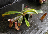 Nepenthes ventricosa Madja-as x [lowii x (northiana x veitchii)], CAR-0023