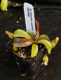 Nepenthes ventricosa x Eglantine, CAR-0068