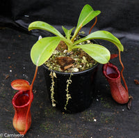 Nepenthes ventricosa x lowii