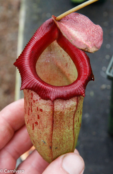 Nepenthes ventricosa x ovata Hawaii