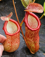 Nepenthes pectinata x ventricosa