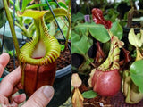 Nepenthes villosa x veitchii