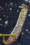 Nepenthes vogelii, BE-3256