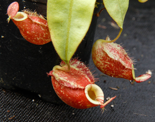 Nepenthes (Rayong Hybrid x ampullaria) x ampullaria-red, CAR-0004