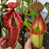 Nepenthes (Rokko x boschiana) x veitchii, CAR-0122