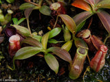 "Nepenthes (spathulata x spectabilis) ""BE Best"" x [(spathulata x aristolochioides) x lowii], CAR-0116"