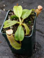 "Nepenthes (tiveyi x veitchii) x veitchii ""Pink Candy Cane"", CAR-0020"