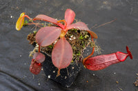 Nepenthes (veitchii x lowii) x spectabilis, BE-3400