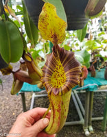 Nepenthes (veitchii x lowii) x platychila, BE-3920