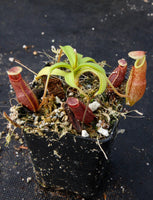 Nepenthes bongso, BE-3036